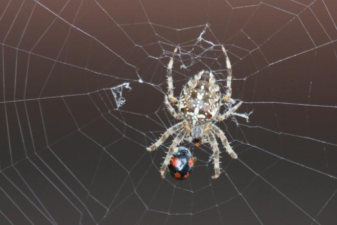 araignée claire buse variable © bruno marchal