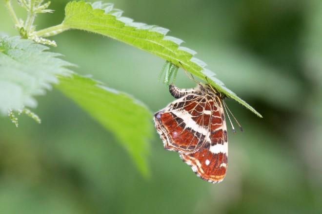 papillon brun à rixensart © bruno marchal