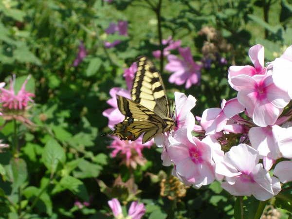 papillon © véronique wasnaire
