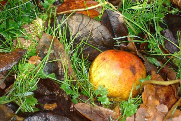 pomme à genval © claire houart
