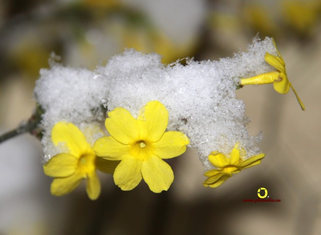 jasmin d'hiver bruno marchal