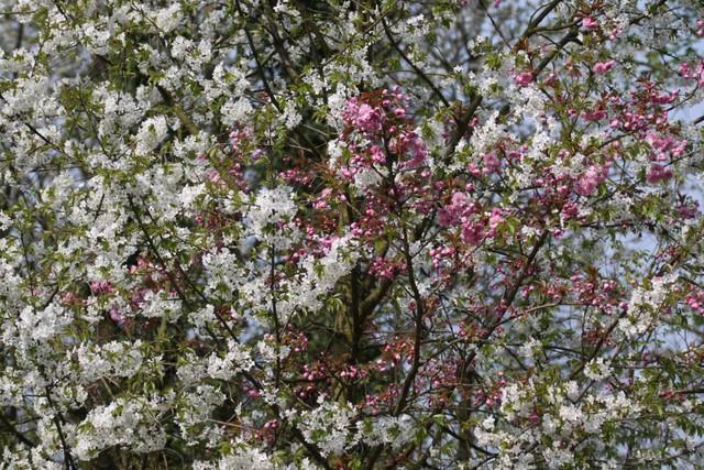 Cerisier bicolore avenue Royale à Rixensart © Bruno Marchal