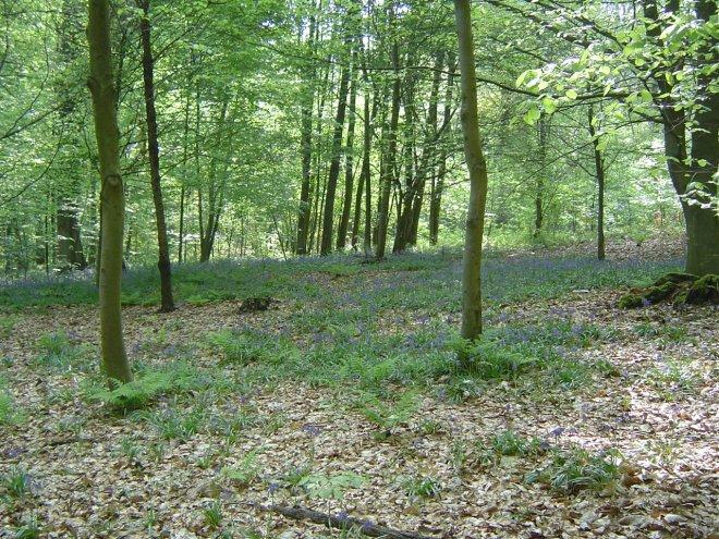 jacinthes des bois © gilbert nauwelaers