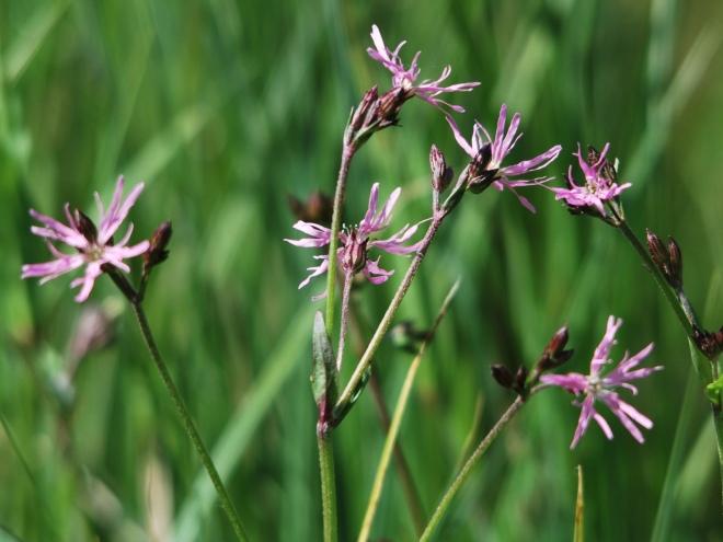 lychnis fleur de coucou (réserve du confluent) © gilbert nauwelaers