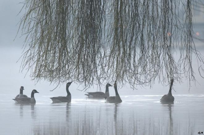 Bernaches du Canada (lac de Genval) 3.2013 © Gilbert Nauwelaers