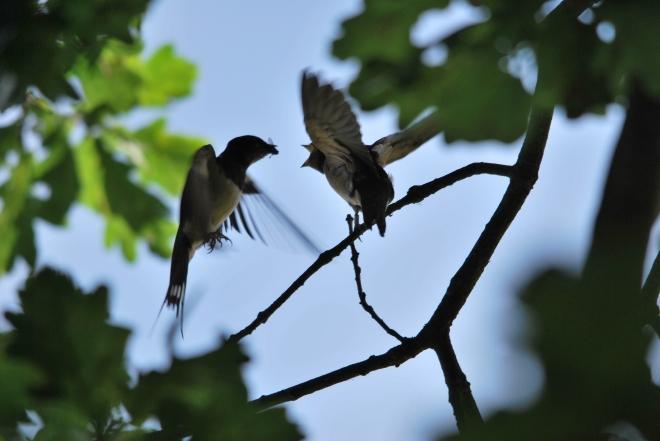 hirondelles (sentier du carpu) © gilbert nauwelaers