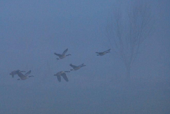 bernaches du canada dans la brume de la vallée de la lasne © gilbert nauwelaers