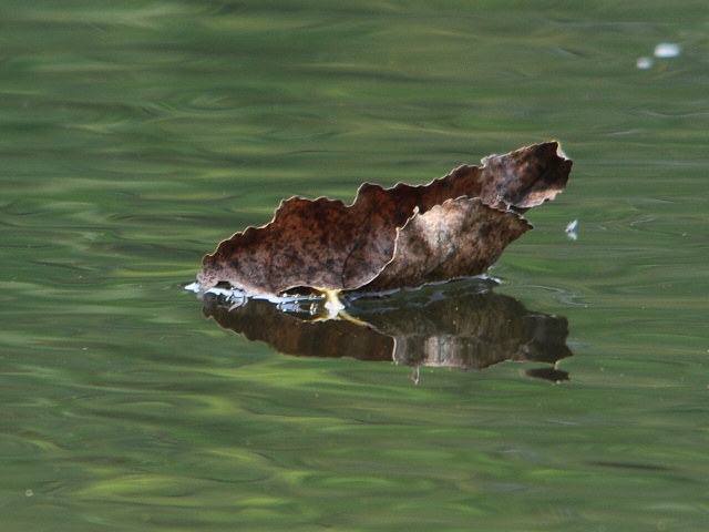 Feuille à la dérive © Gilbert Nauwelaers