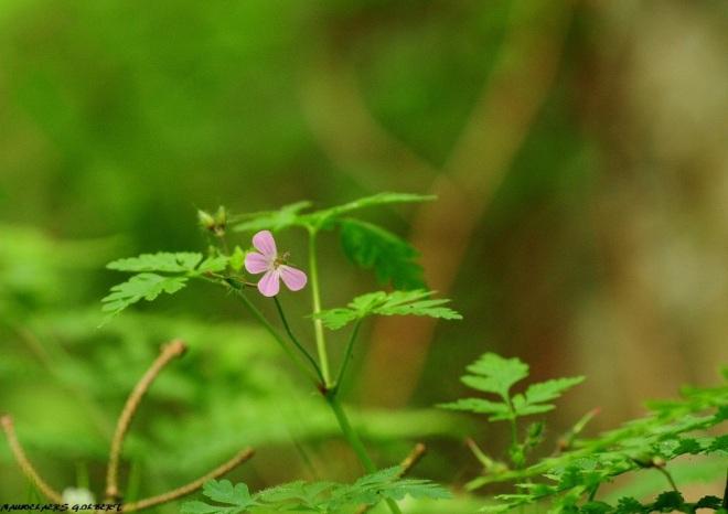géranium à robert (papillon rose) 5.2012 © gilbert nauwelaers