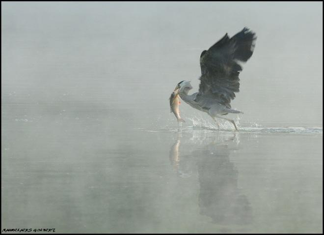 héron au lac de genval 5.2012 © gilbert nauwelaers