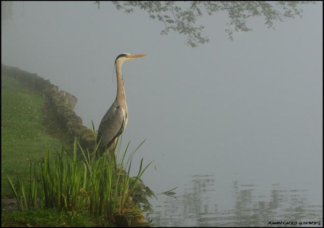 héron lac de genval 5.2012 © gilbert nauwelaers