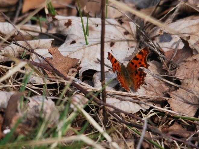 papillon © gilbert nauwelaers