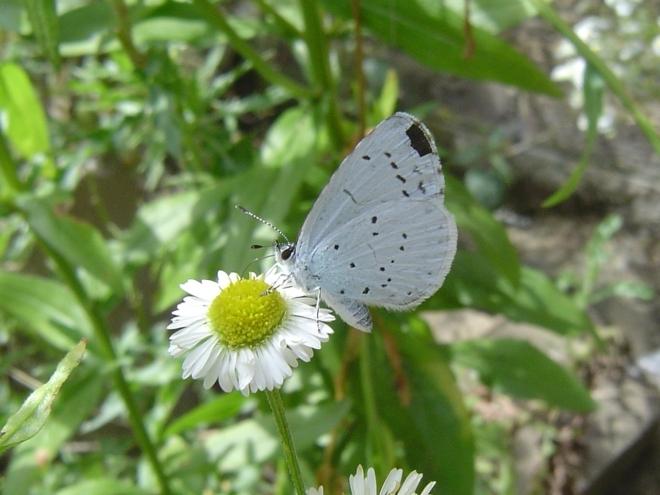 papillon bleu © gilbert nauwelaers