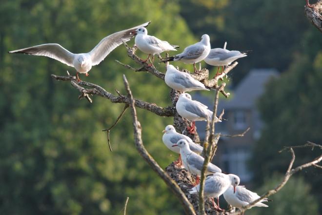 9 mouettes lac de genval © gilbert nauwelaers