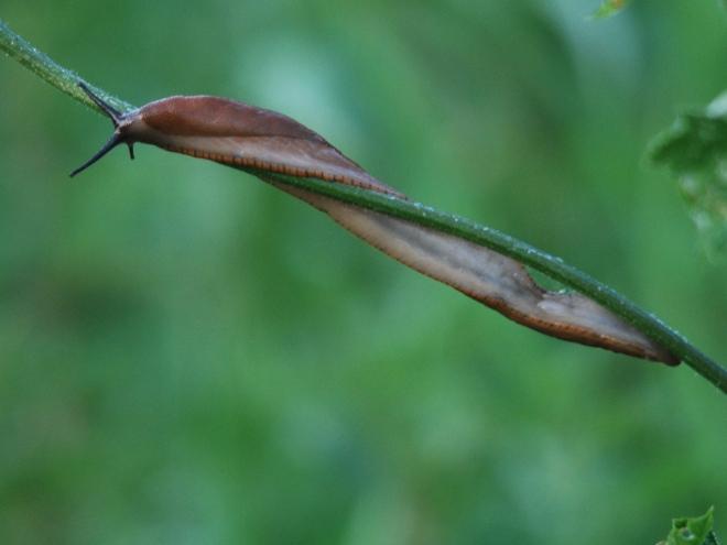 limace © gilbert nauwelaers
