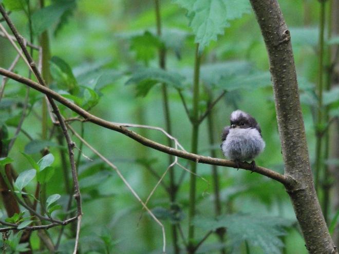 bébé mésange à la longue queue © gilbert nauwelaers