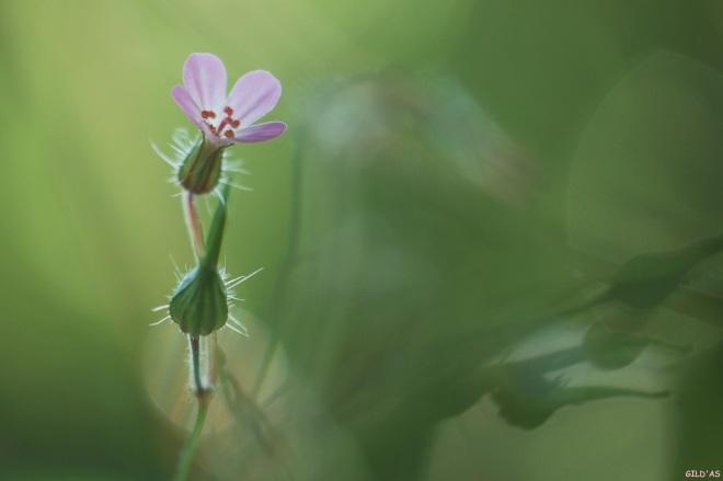 géranium sauvage 9 © gilbert nauwelaers