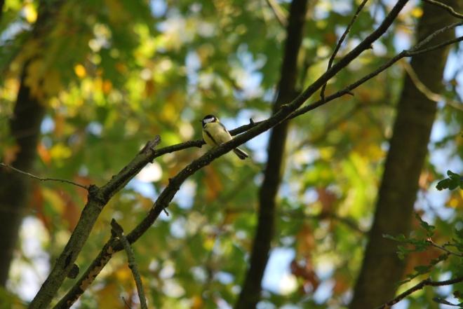 mésange charboniere © gilbert nauwelaers