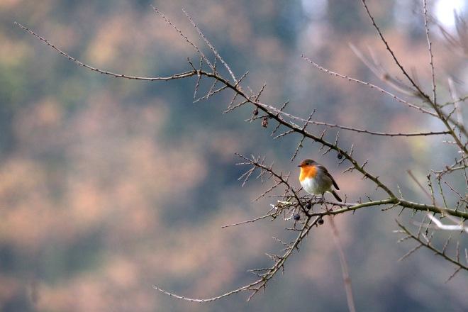 1 robin © gilbert nauwelaers