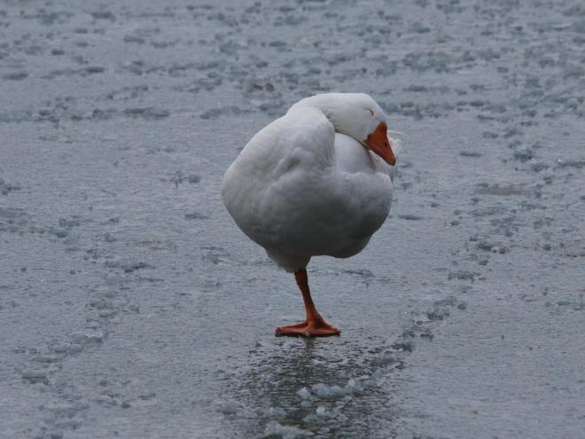 oie au lac de genval © gilbert nauwelaers
