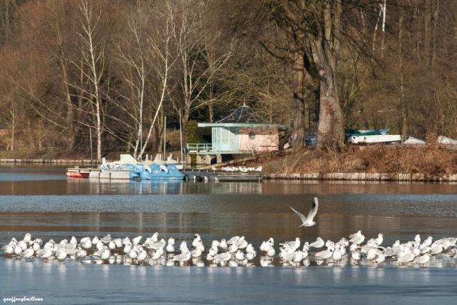 mouettes sur le lac de genval © geoffrey bailleux
