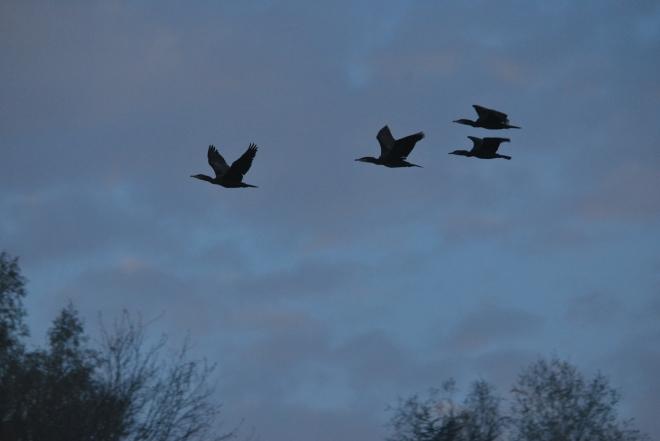 cormoran © gilbert nauwelaers