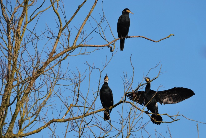 cormoran (vallée de la lasne) © gilbert nauwelaers