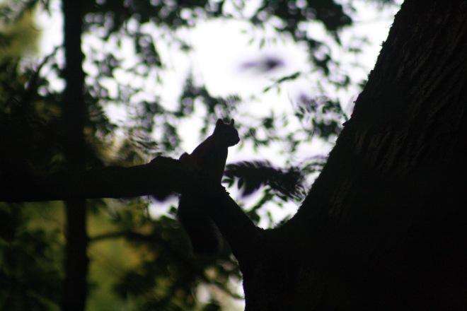 ecureuil (parc communal) 10.2011 © nathalie debroux
