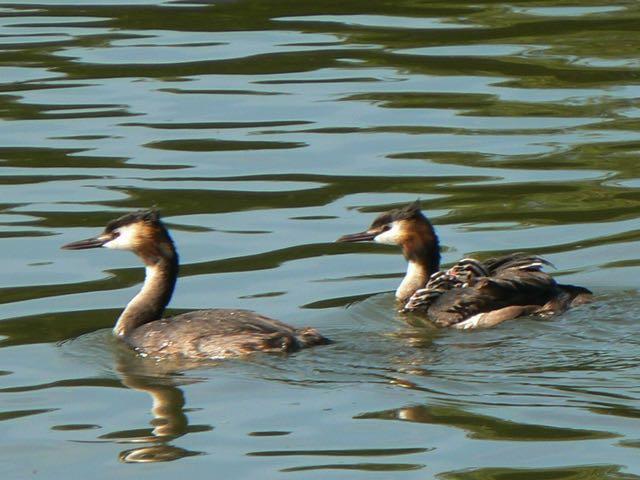 grèbe huppé lac de genval © monique d'haeyere (1)