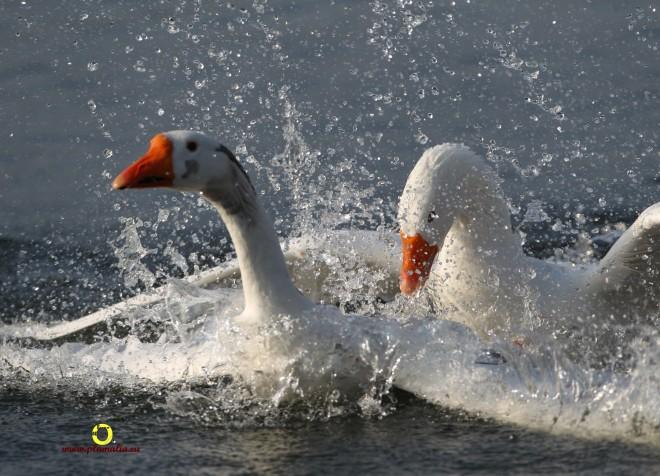9 oie spéciale lac de genval janvier 2011 © bruno marchal