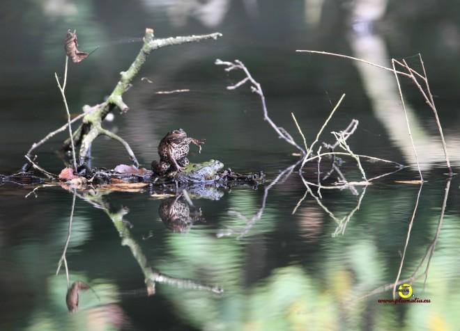 grenouille taureau (vallée de la lasne) 10.2011 © bruno marchal
