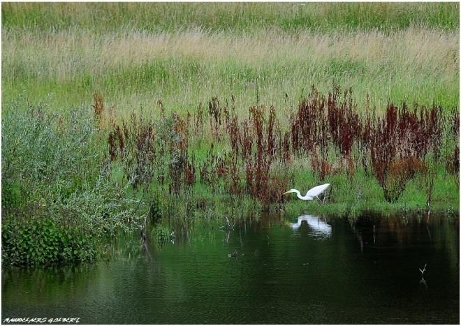 aigrette carpu 7.2012 © gilbert nauwelaers