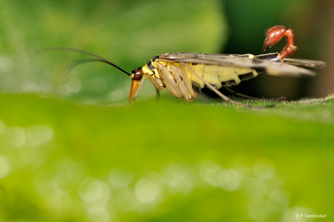 mouche scorpion ou panorpe (mâle) vallée de la lasne 7.2011 © patrick vandendael