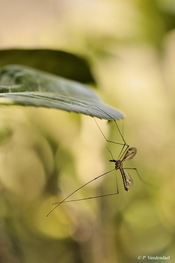 Tipule (Tipula) (mâle