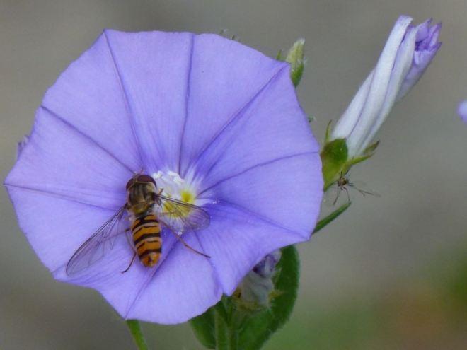 Abeille sur fleur 7.2012 © Cathy De Jonge.DeJonge