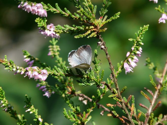 papillon de bruyère (grande bruyère) 7.2011 © cathy de jonge