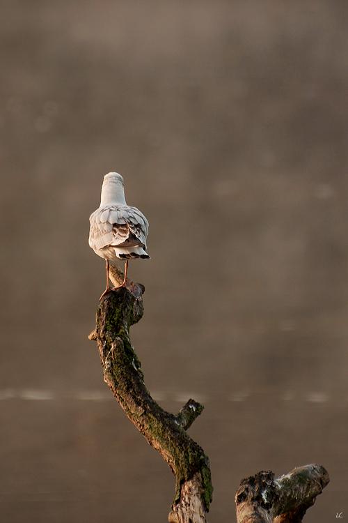 mouette au lac de genval © laetitia casteels