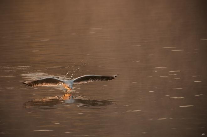mouette au lac de genval 2 © laetitia casteels