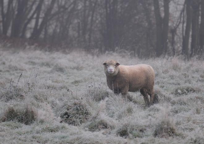 mouton 11.2012 © gilbert nauwelaers.2012 © gilbert nauwelaers-001