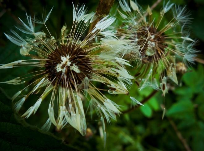 dandelion etang gillet 5.2012 © cedric muscat