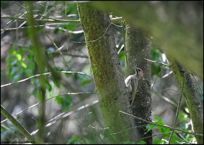 pic vert juvénile sentier du carpu 6.2012 © gilbert nauwelaers