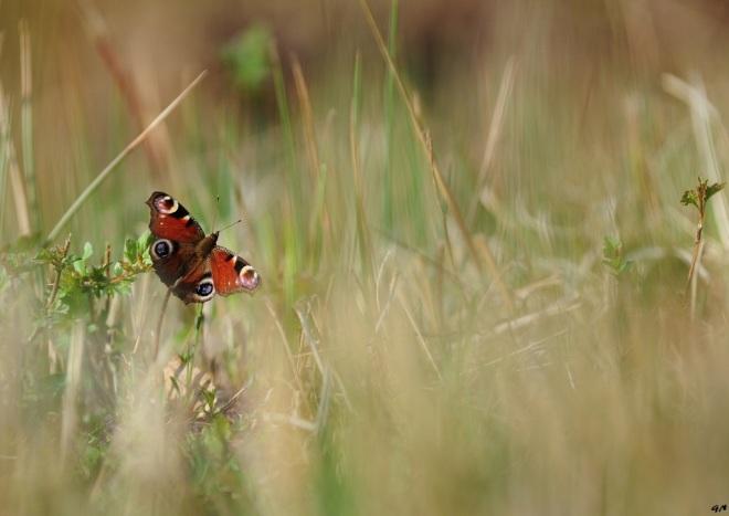 paon du jour (prairies du carpu) 4.2013 © gilbert nauwelaers