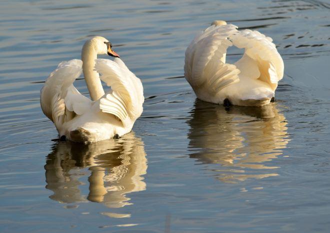 cygne au lac de genval 1 © gilbert nauwelaers-2