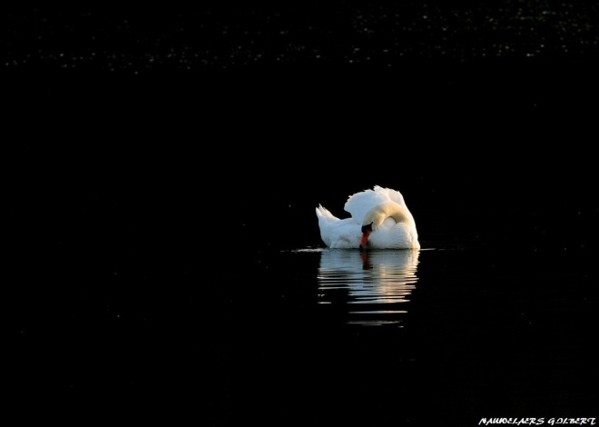 cygne lac de genval 4.2012 © gilbert nauwelaers