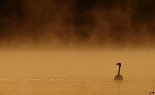 Cygne Lac de Genval 9.2012 © Gilbert Nauwelaers - 01