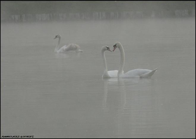 cygnes lac de genval 11.2012 © gilbert nauwelaers