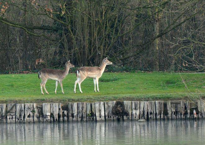 daim (lac de genval) 3.2012 © gilbert nauwelaers