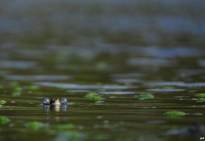 grenouille verte (vallée de la lasne) 4.2013 © gilbert nauwelaers