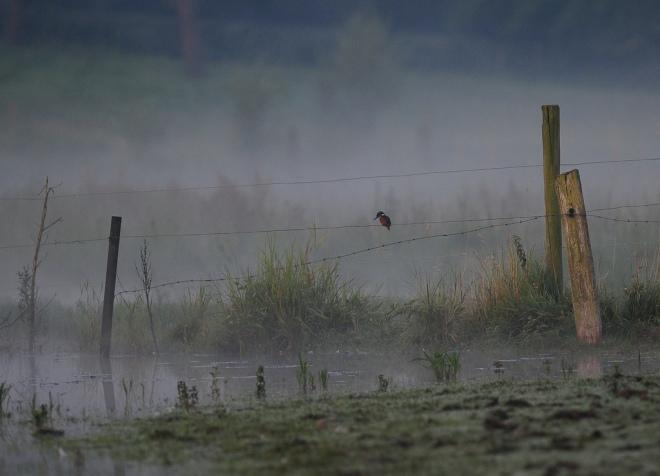 martin pêcheur carpu 7.2012 © gilbert nauwelaers