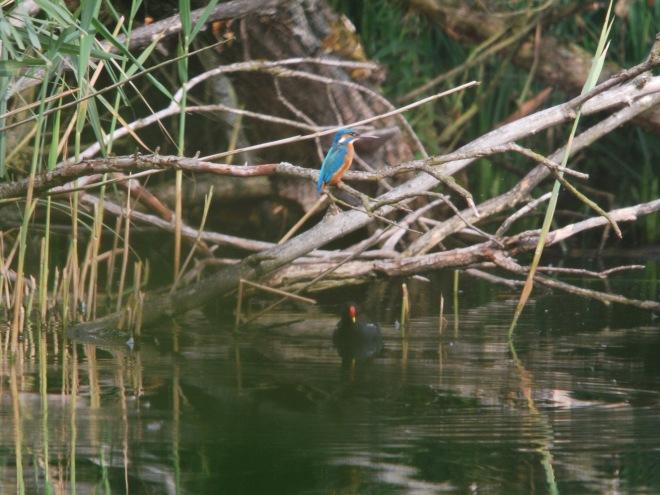 martin pêcheur et la poule d'eau 20090807 © gilbert nauwelaers